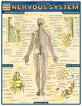 Complete, labeled illustrations of the nervous system