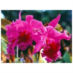 Pink Plumeria Cutting, Red Ginger Root, Cattleya Orchid Starter Plant, Combo Value Pack # 5611
