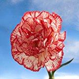 Bulk Peppermint Carnations Standard   400 Peppermint Color Carnations Standard