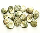 Quality Selected Seashells - Approx 35 pcs shells - Waved Nerite (Big)/ Nerita Undata for Seashell Vases, Seashell Boxes, Seashell Frames, Seashell Jewelry Making & Mini Garden Miniature