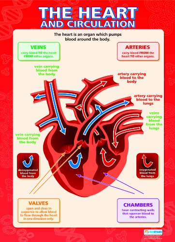 Learn about the Heart and Circulation Laminated Poster (17 x 24ins)