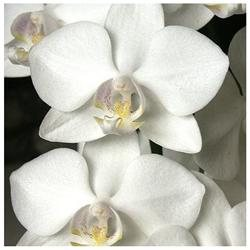 Red Plumeria Cutting, Air Leaves Root, Phalaenopsis Orchid Starter Plant, Combo Value Pack # 12605