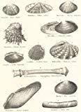 MOLLUSCS: Veneridae; Tellinidae; Mactridae; Chamidae; Mutelidae; Cardiidae;1860