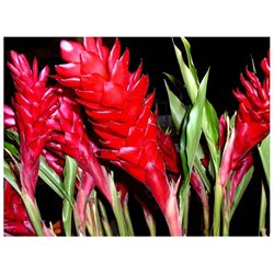 Pink Plumeria Cutting, Red Ginger Root, Red Ginger Starter Plant, Combo Value Pack # 5754