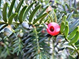 Home Comfort Peel-n-Stick Poster of Taxus Baccata Red Fruit Yew Green Common YewPoster 24x16 Adhesive Sticker Poster Print