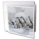 Danita Delimont - Penguins - Chinstrap Penguins, South Orkney Islands, Antarctica-AN01 KSU0110 - Keren Su - 12 Greeting Cards with envelopes (gc_74389_2)