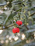 Home Comforts Peel-n-Stick Poster of Yew Family Taxus Baccata Berry Red European Yew Yew Poster 24X16 Adhesive Sticker Poster Print