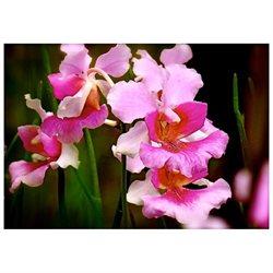 Vanda Orchid Hawaiian Starter Plant - Miss Joaquim - Approx. 6 - 10 Inches