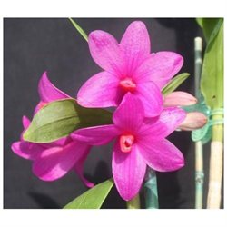 Pink Plumeria Cutting, Red Ginger Root, Dendrobium Orchid Starter Plant, Combo Value Pack # 5650